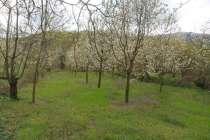 Kestel Kozluören Köyü/Mah Satılık Meyve Bahçesi Arazi.