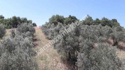 Yenişehir Fethiye Köyü Mah Satılık Zeytin Bahçesi Arazi 1
