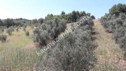 Yenişehir Fethiye Köyü Mah Satılık Zeytin Bahçesi Arazi 3