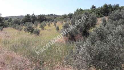 Yenişehir Fethiye Köyü Mah Satılık Zeytin Bahçesi Arazi 4