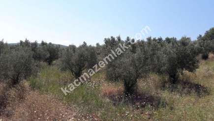 Yenişehir Fethiye Köyü Mah Satılık Zeytin Bahçesi Arazi 9