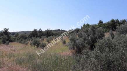Yenişehir Fethiye Köyü Mah Satılık Zeytin Bahçesi Arazi 6