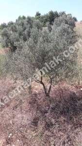 Yenişehir Fethiye Köyü Mah Satılık Zeytin Bahçesi Arazi 5