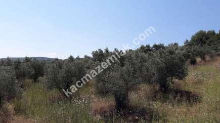 Yenişehir Fethiye Köyü Mah Satılık Zeytin Bahçesi Arazi 8