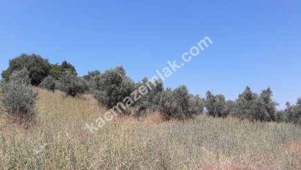 Yenişehir Fethiye Köyü Mah Satılık Zeytin Bahçesi Arazi 10
