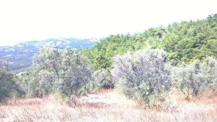 Bursa Mudanya Dere Köyde Acil Satılık Zeytin Bahçesi 3